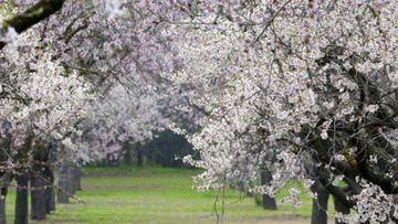 Cerezos en flor Bolea (Huesca)