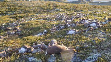 Más de 300 renos han muerto por un rayo en un parque natural en Noruega.